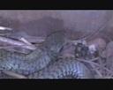 Boomslang Snake Facts For Kids