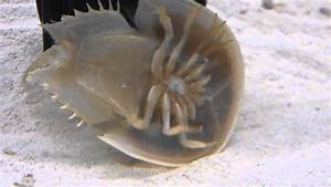 Horseshoe Crab Aquarium Eating And Swimming
