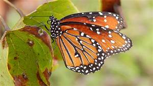 Butterflies and Skippers – Under the Pecan Leaves