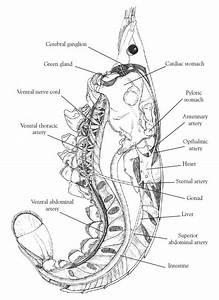 Open Versus Closed Circulatory System  Dissection Of The