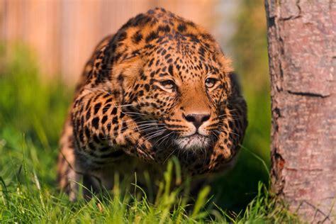 jaguar animal pouncing hd