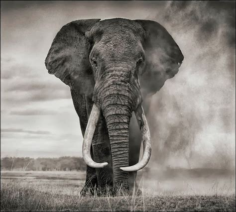 photo  nick brandt elephants saynotoivory wildlife