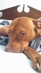 Ella - red nose #pitbull   Pit Bulls