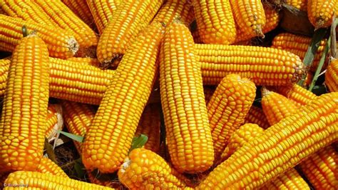 Maize farmers use Dogonyaro leaves to control armyworms in ...