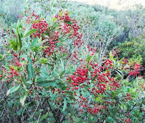 southern california plants native americans in southern california enjoyed berries from the toyon plant