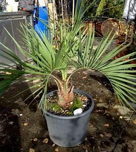 Palmen Kaufen Baumarkt : lange blattstiele seite 1 palmen ~ Orissabook.com Haus und Dekorationen