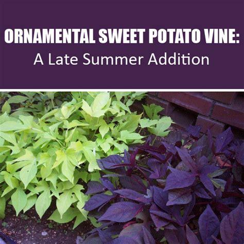 Decorative Potato Plant - the advantages of growing ornamental sweet potato vine