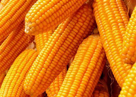 Maize (Corn) - TOD Farms
