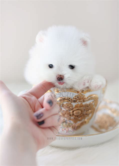 charming  pomeranian puppies  sale teacup