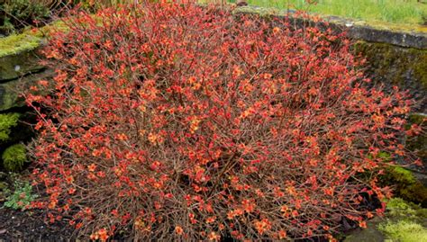 gold leaf spirea plants that leaf out early in late winter or spring the world s best gardening blog