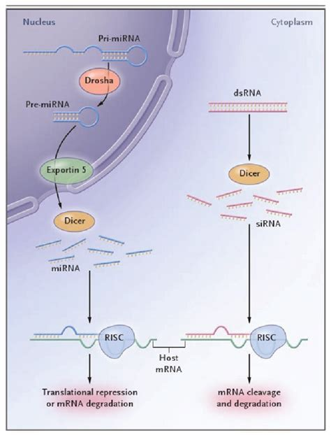 The RNA-Interference Cascade in Humans | Download ...