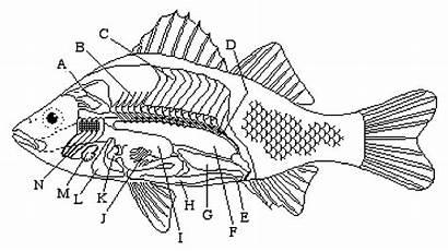 Fish Worksheet Anatomy Internal Diagram Sea Labeling