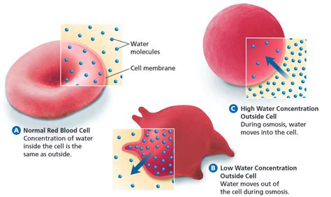 Inside A Red Blood Cell Diagram