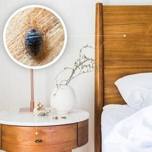 bed bugs wood prefer hiding wooden
