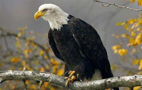 Bald Eagle Images Nation S Oldest Bald Eagle Found Dead In New York