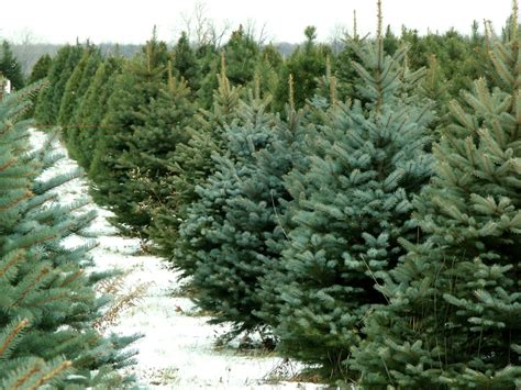 order real christmas tree christmas tree guide where to cut and buy trees in boston 9116