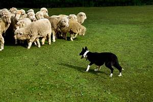 Do herding dogs automatically know how to herd?   Dog ...
