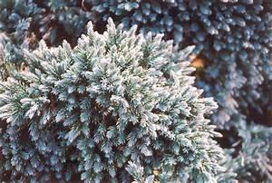 Blue Star Juniper (Juniperus squamata 'Blue Star') in ...