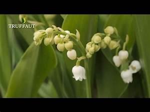 Comment Planter Du Muguet : comment planter du muguet jardinerie truffaut tv youtube ~ Melissatoandfro.com Idées de Décoration