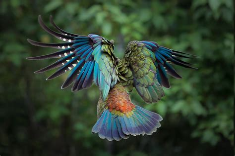 Colourful Animal Wallpaper - birds animals colorful new zealand parrot kea