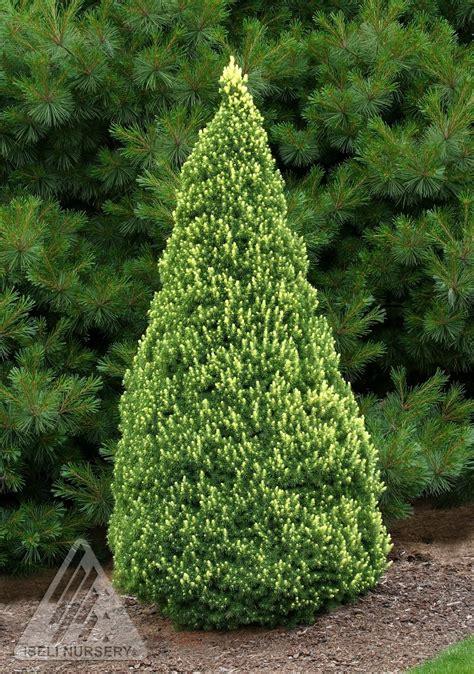 alberta spruce picea glauca rainbows end dwarf alberta spruce dwarf