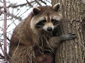 Aspundir: Interesting & Amazing Information On Raccoons