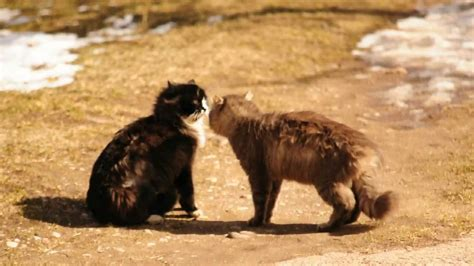 Kaķi pie mājas lamājas... - YouTube
