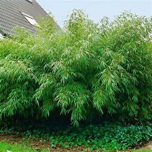Wie Schnell Wächst Bambus : garten bambus rufa online kaufen bei g rtner p tschke ~ Frokenaadalensverden.com Haus und Dekorationen