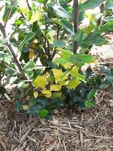Kamelie Gelbe Blätter : ilex stechpalme bl tter verf rben sich gelb krankheit ~ Lizthompson.info Haus und Dekorationen