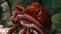 Giant Pacific octopus, Reefs & Pilings, Octopuses & Kin, Enteroctopus dofleini at the Monterey ...