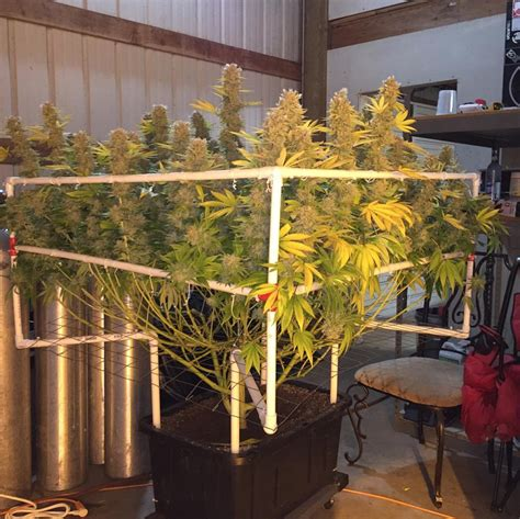 grow ls for indoor plants grow guide how to scrog like a pro marijuana