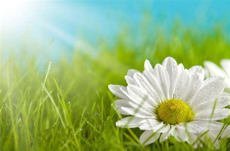 flower daisy white yellow petals grass green meadow