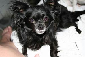 black long hair chihuahua - My Zoey's TWIN!!! | Chihuahuas ...