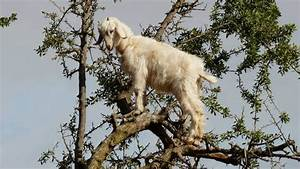 Goats really can climb trees | MNN - Mother Nature Network