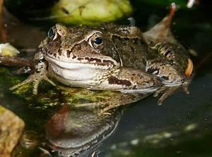 Tiere Im Gartenteich : frosch im gartenteich foto bild tiere natur bilder auf fotocommunity ~ Eleganceandgraceweddings.com Haus und Dekorationen