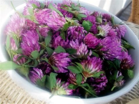 fiori di trifoglio confettura di fiori di trifoglio vegan ricette