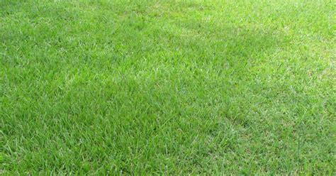 grass seed lawn repair all you need to about bahiagrass