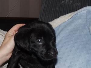 8 week old bitch black lab puppy | Hexham, Northumberland ...