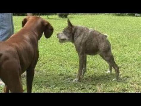 meet   ugliest dog   world youtube