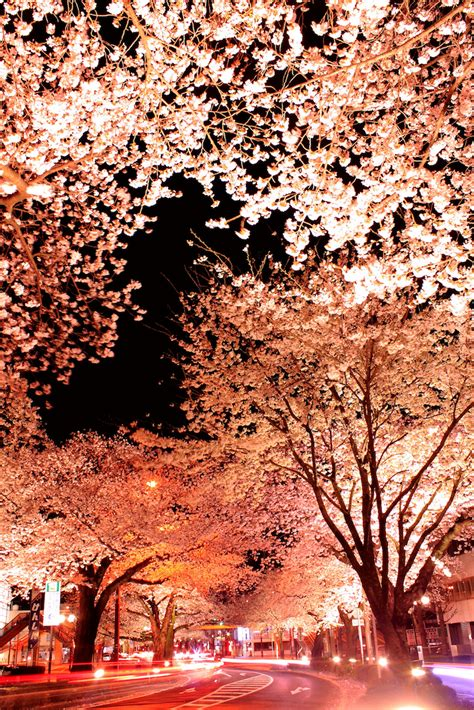 fleurs de cerisiers japonais la nuit  hitachi chambre