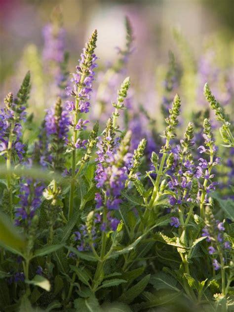 lavender maintenance luscious lavender is low maintenance hgtv