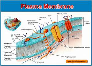 Plasma Membrane   Basic Structure  Composition And Function