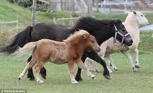 Thinking big! Minature pony foal measuring just 26 inches ...