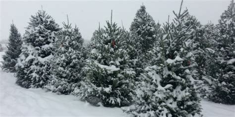 cut your own xmas trees maryland discover frederick maryland
