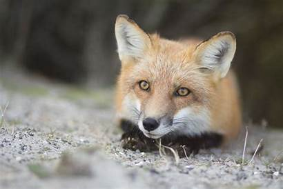 Fox Wallpapers Animal Background Ultra 4k Alphacoders