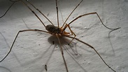 "Enormous ""Daddy-long-legs"" species discovered in Lao ..."