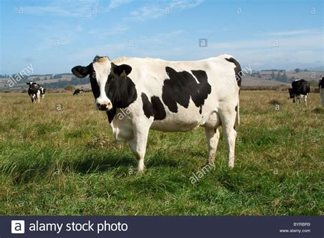 dairy farm with holstein cows in pasture and three silos holstein dairy cows on an organic pasture this herd on