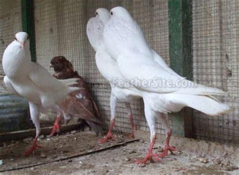 pouters