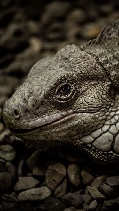Scales Reptile Iphone Iguana Wallpapers Wallpaperaccess Stones
