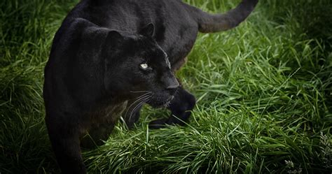 Panther Animal Wallpaper - wallpaper panther black 4k animals 15442